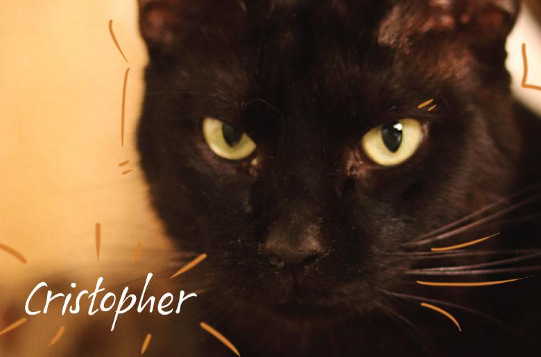 Este gatito se llama Critopher y es positivo a leucemia felina