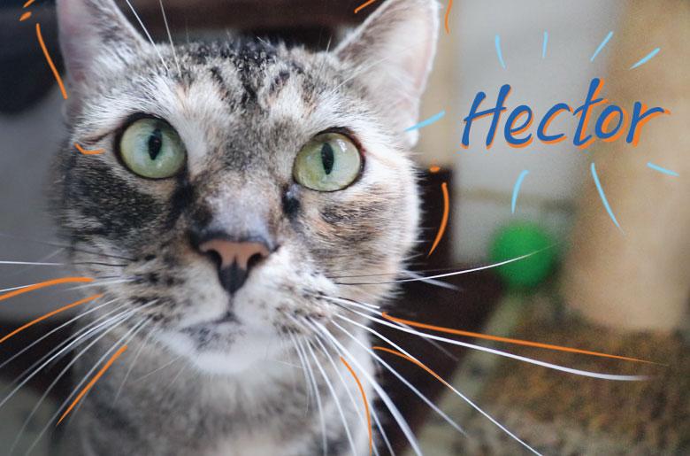 Héctor fue adoptado y es positivo para sida felina