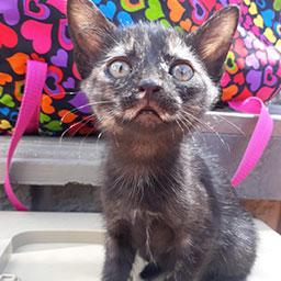 Adopta a Arabella una gata de 2 meses