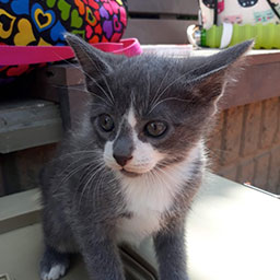 Adopta a Ron un gatico de 2 meses