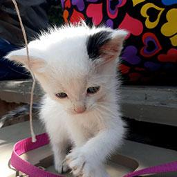 Adopta a Snow un gatico de 2 meses
