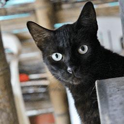 Adopta a Blacky un gato de 3 años