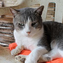 Adopta a Pepe un gatico de 3 meses
